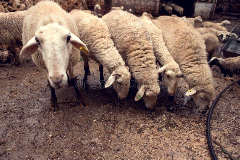 Овцы на ферме стоковая фотография