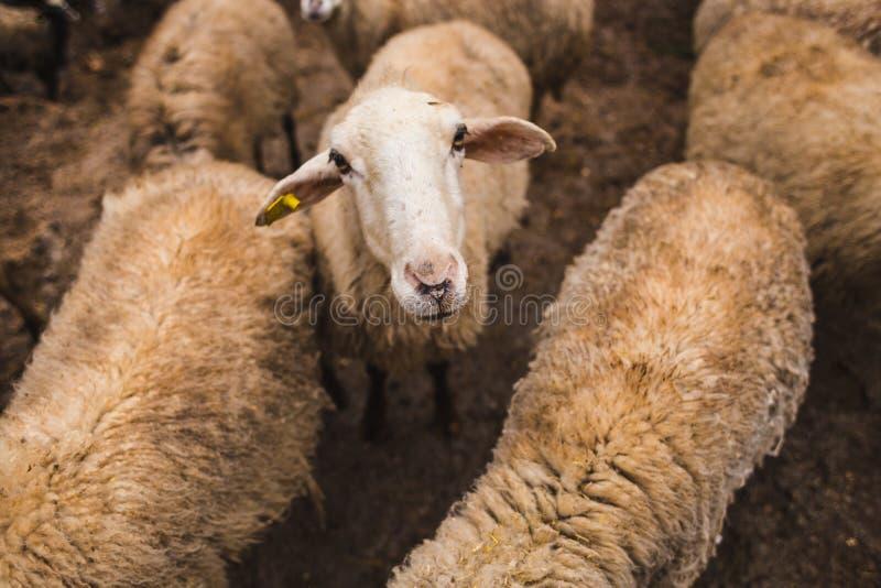 Овцы на ферме стоковое изображение rf