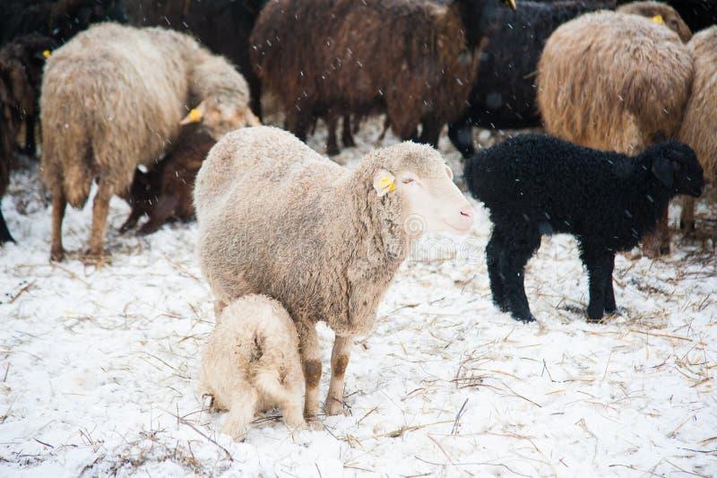 Овцы на ферме стоковые изображения