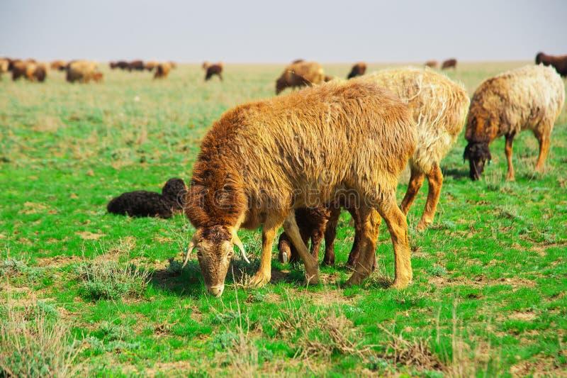 Овцы на ферме стоковые фотографии rf