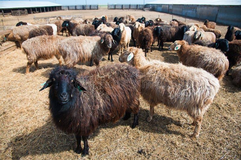 Овцы на ферме стоковое изображение