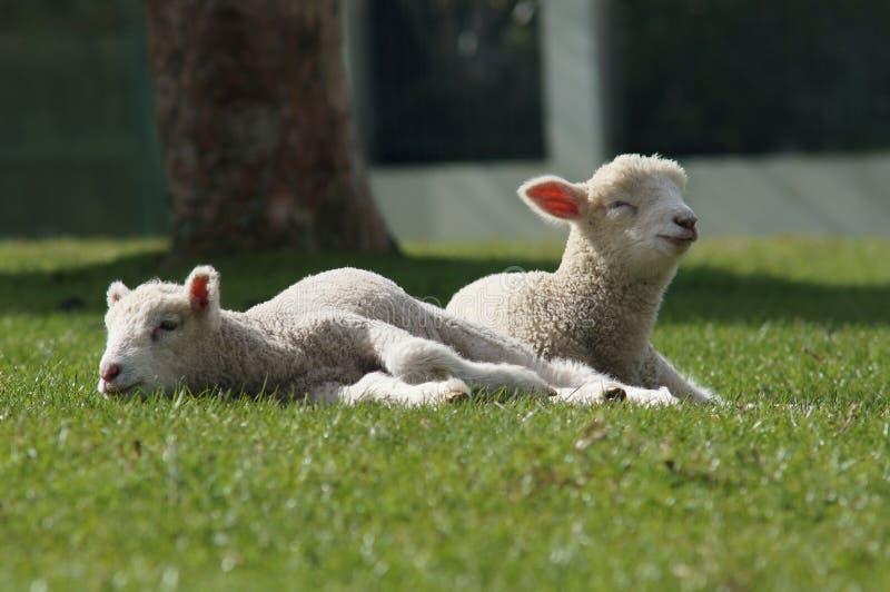 Овцы, Новая Зеландия стоковое изображение