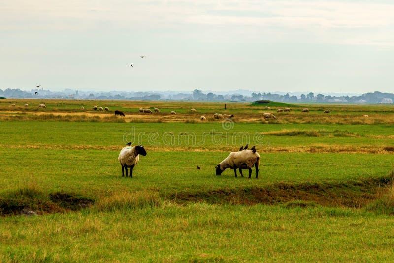 Овцы Нормандии пася на соленом болоте в северной Франции стоковое изображение