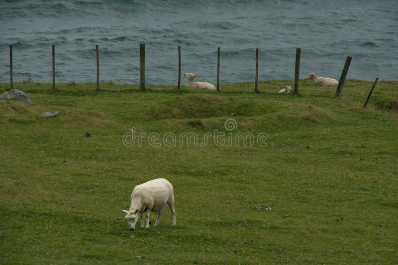 овцы обеда s стоковое фото