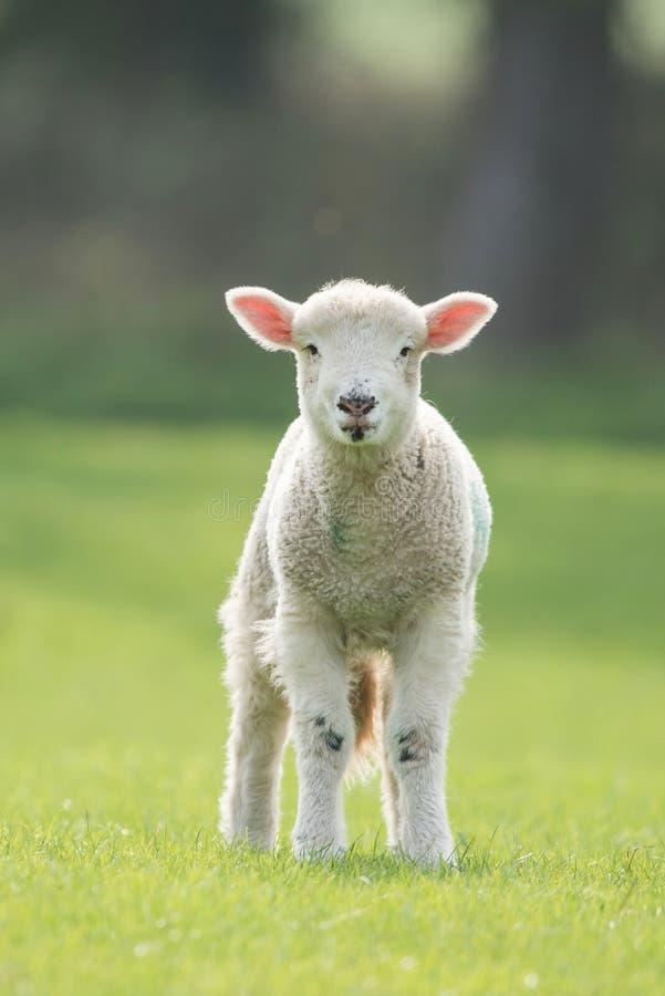Овцы, овечка, Ram, aries барана стоковое изображение rf