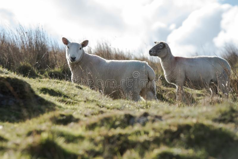 Овцы, овечка, Ram, aries барана стоковое фото