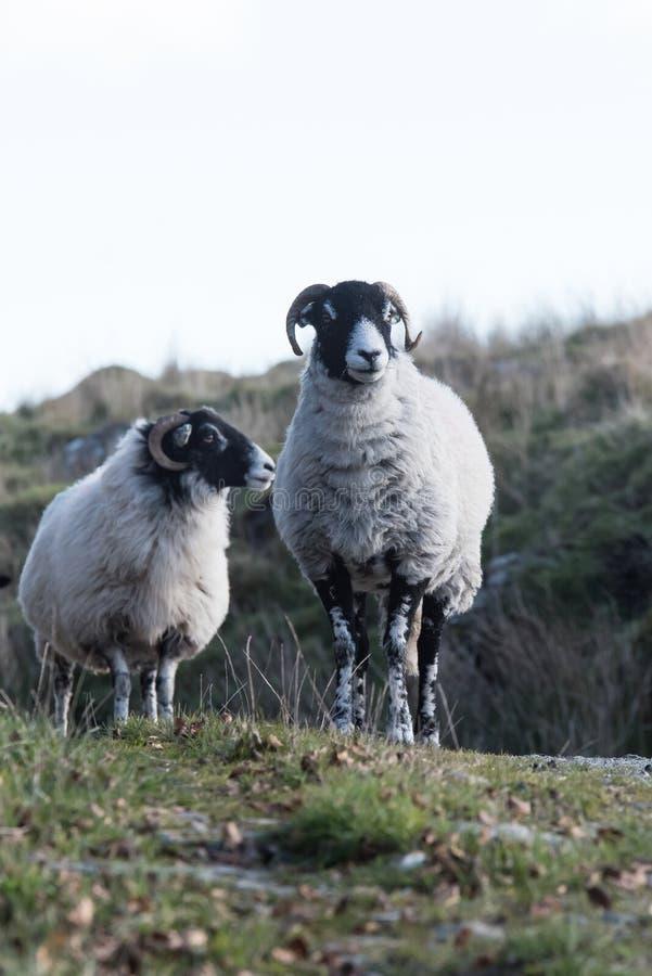 Овцы, овечка, Ram, aries барана стоковое изображение