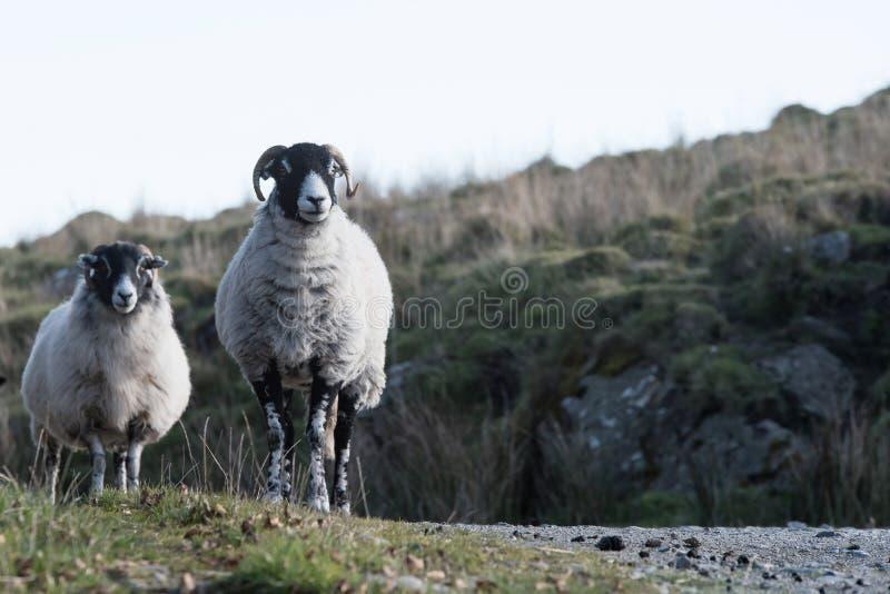 Овцы, овечка, Ram, aries барана стоковое фото rf