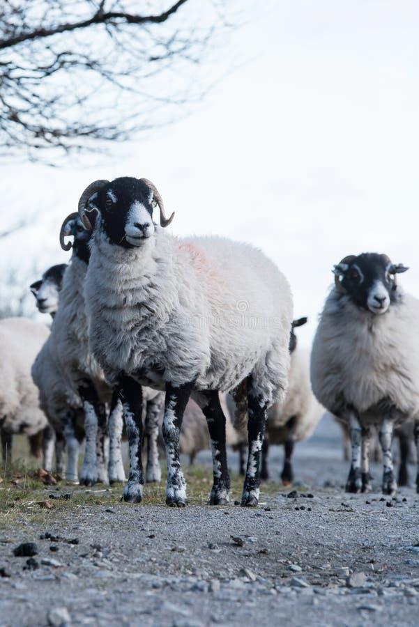 Овцы, овечка, Ram, aries барана стоковая фотография