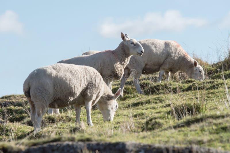Овцы, овечка, Ram, aries барана стоковая фотография rf