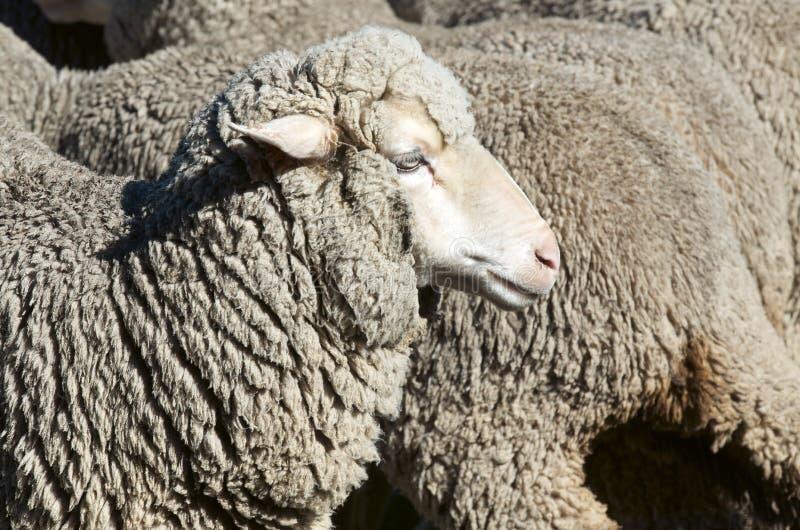 Овцы овцы стоковое изображение rf