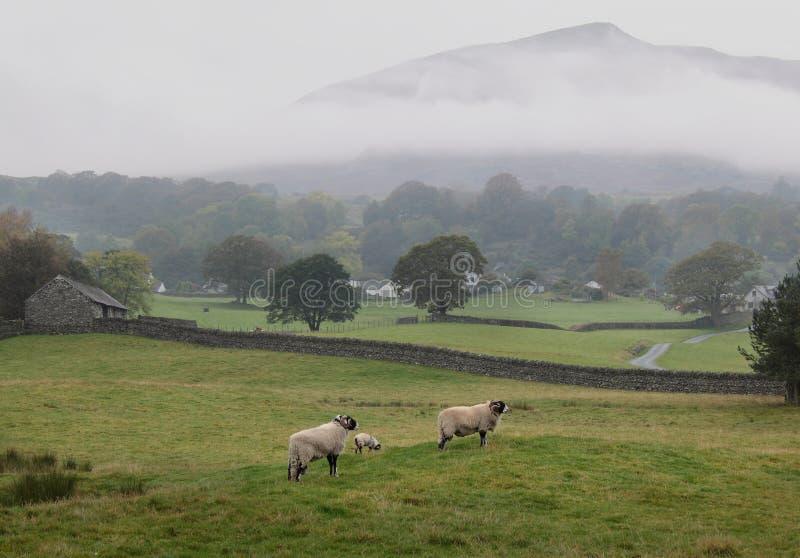 овцы озера заречья стоковые фото