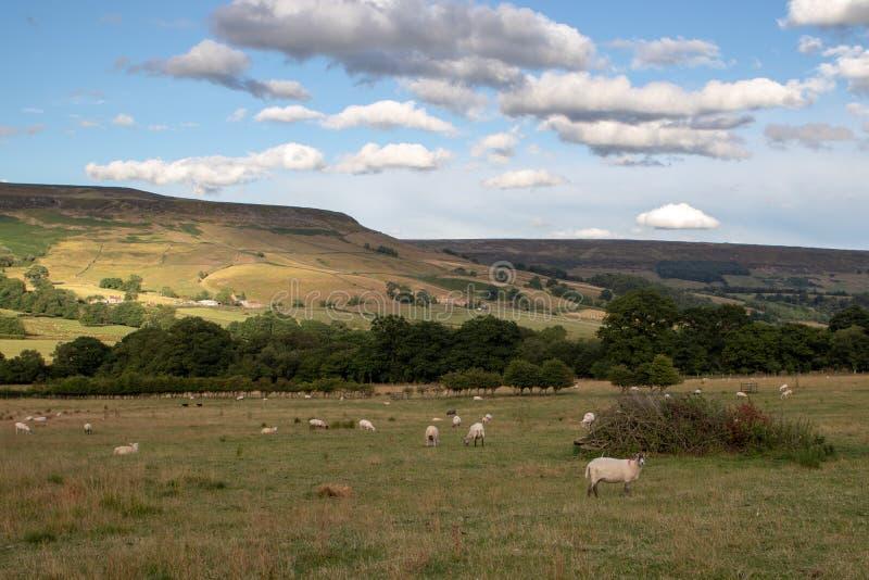 Овцы отдыхая и пася в английской обрабатываемой земле сельской местности стоковая фотография rf