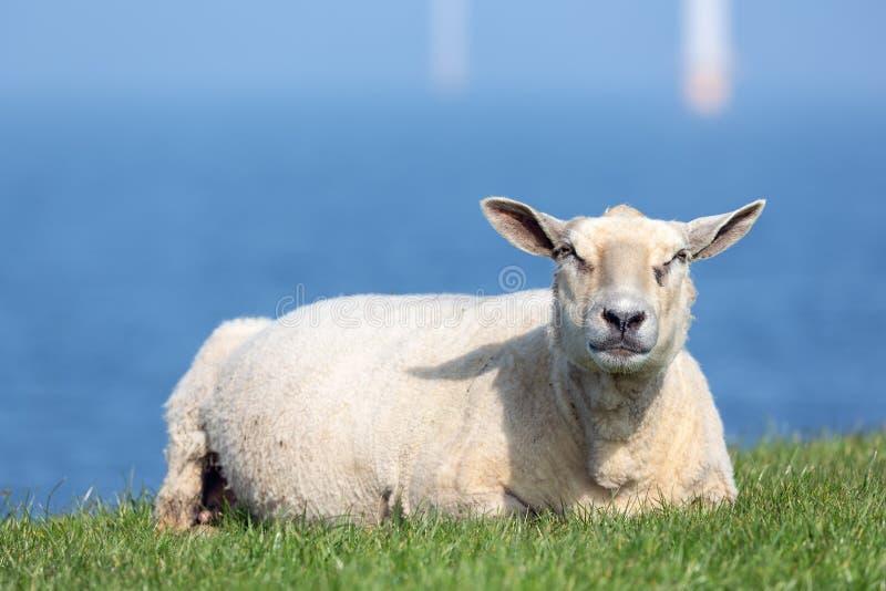Овцы отдыхая на dike около голландского моря с windturbines silhoutte стоковое изображение