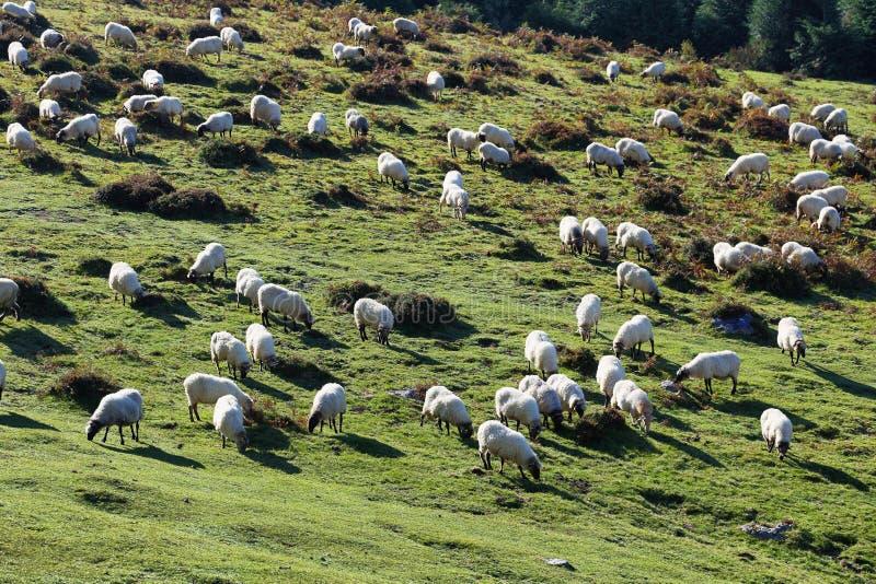 Овцы пася в природном парке Urkiola, Испании стоковые изображения rf