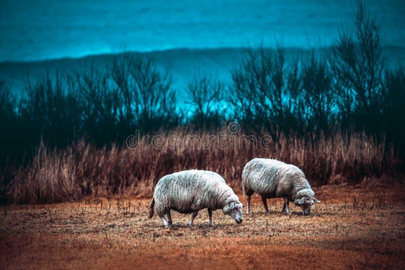 2 овцы пася на поле стоковое фото rf