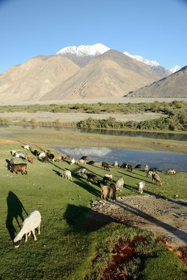 Овцы пася на холме стоковое фото