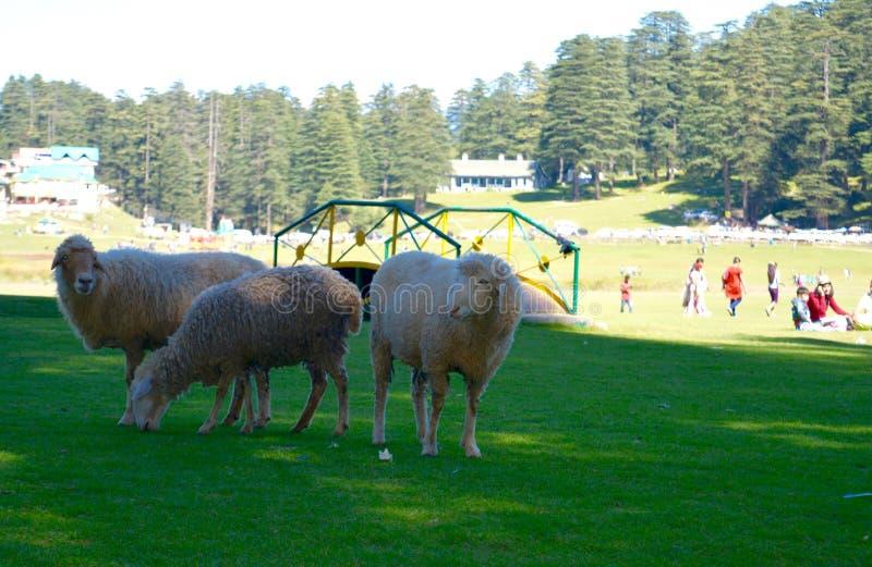 Овцы пася поля стоковые изображения rf