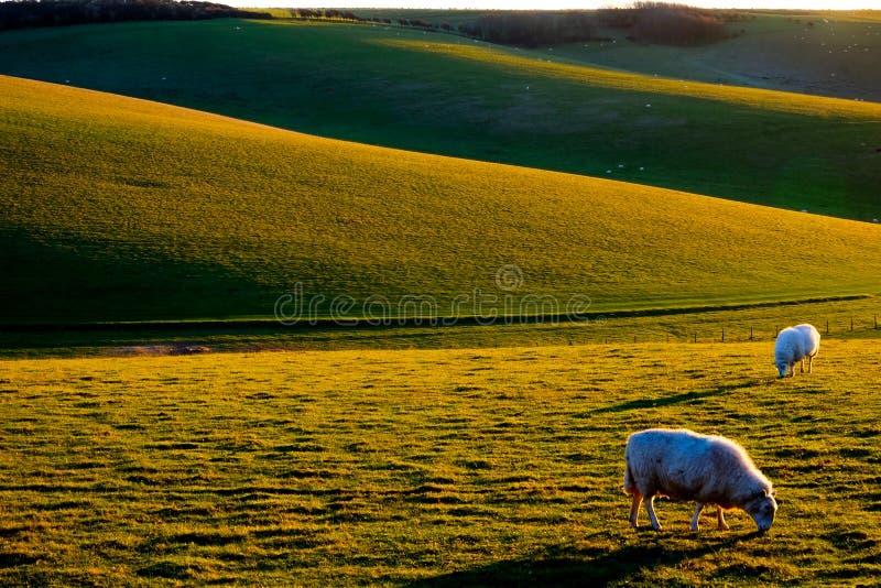 2 овцы пася с Rolling Hills на заднем плане стоковые изображения