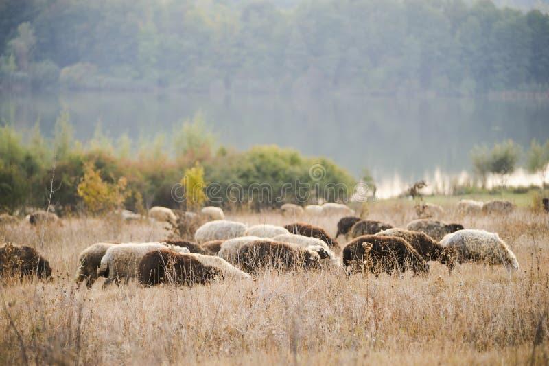 Овцы пируя в Молдавии стоковое изображение