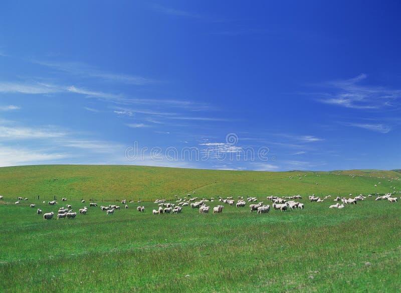 овцы поля дня солнечные стоковая фотография rf