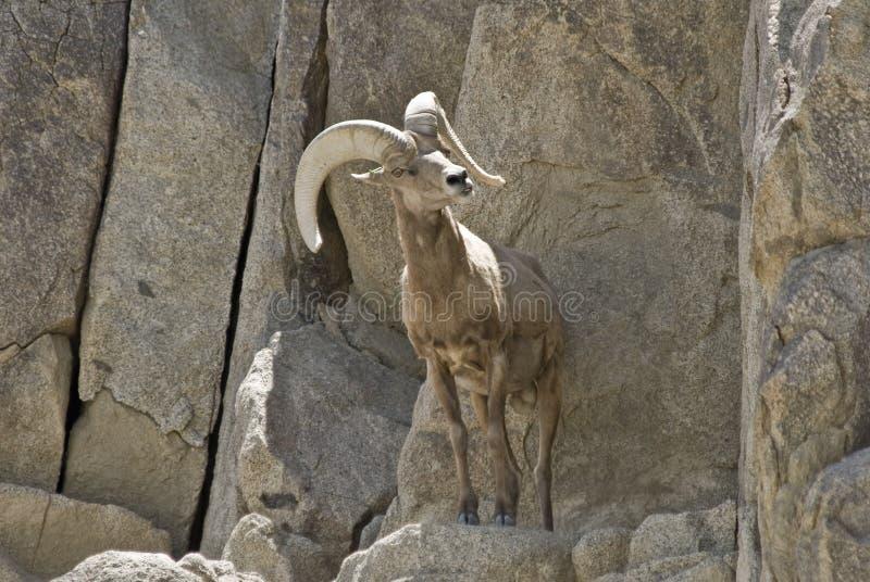 овцы пустыни bighorn стоковые фото