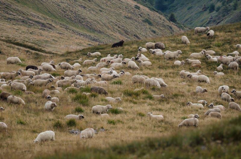 овцы плато горы табуна стоковое изображение rf