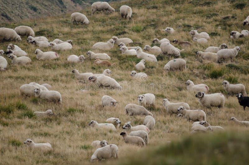 овцы плато горы табуна стоковые изображения rf