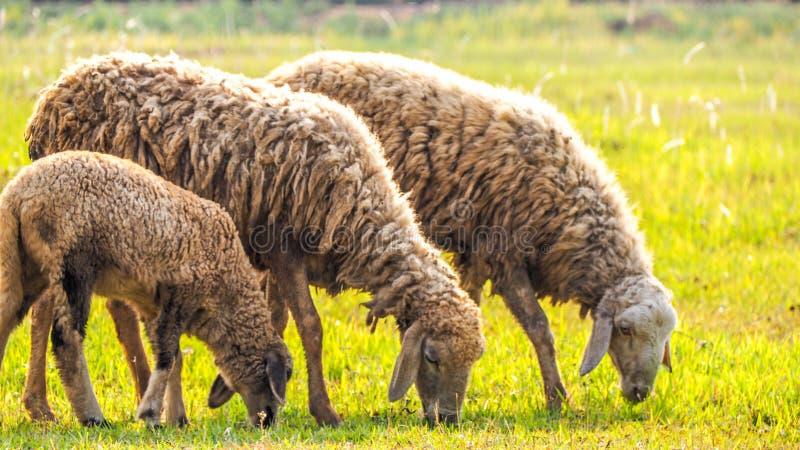 овцы сада стоковое изображение