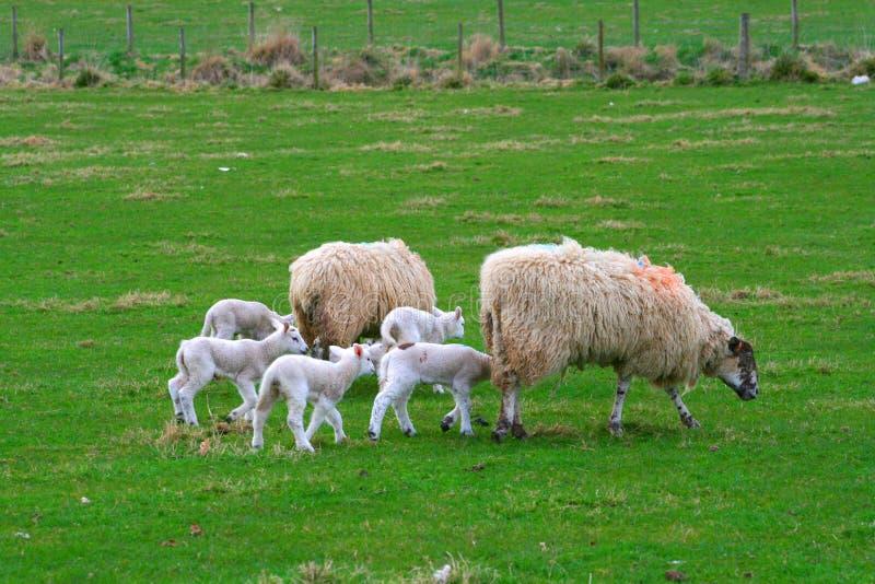 овцы семьи стоковое фото rf