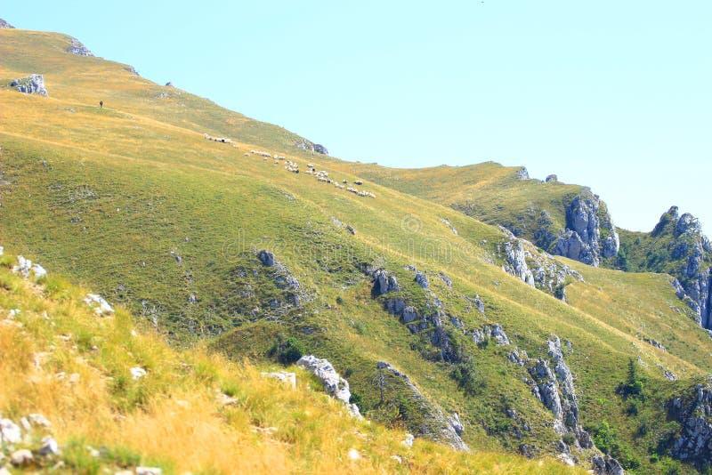 Овцы собираются на луге горы стоковая фотография rf