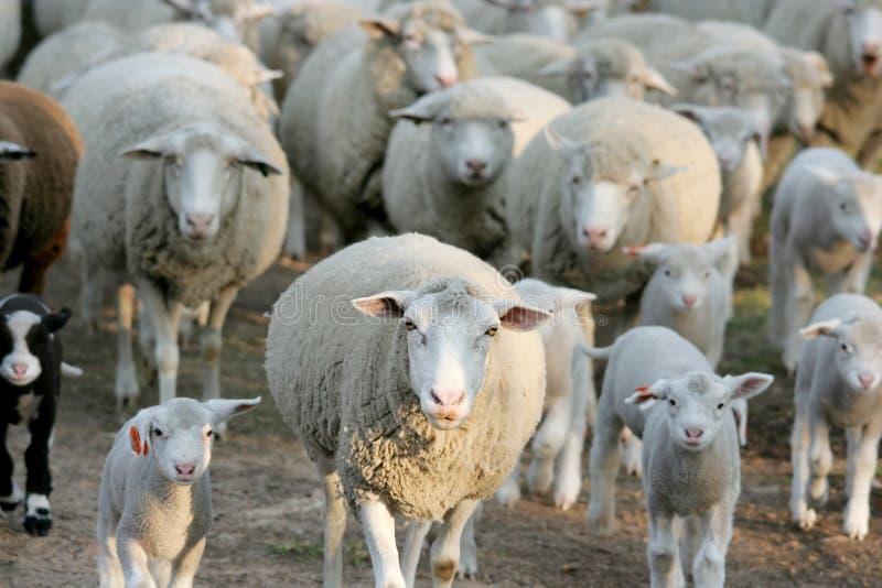 овцы стаи идя домашние стоковое фото rf