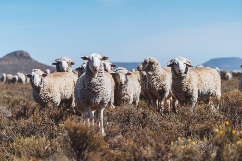 Овцы стоя в поле на ферме стоковые фото