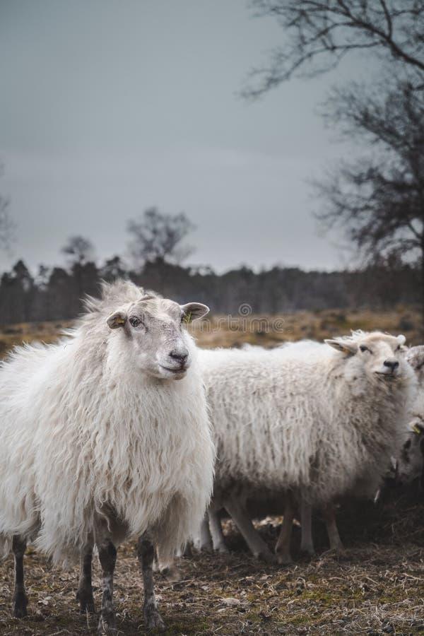 Овцы стоя совместно и гордые на дождливый день стоковые фотографии rf
