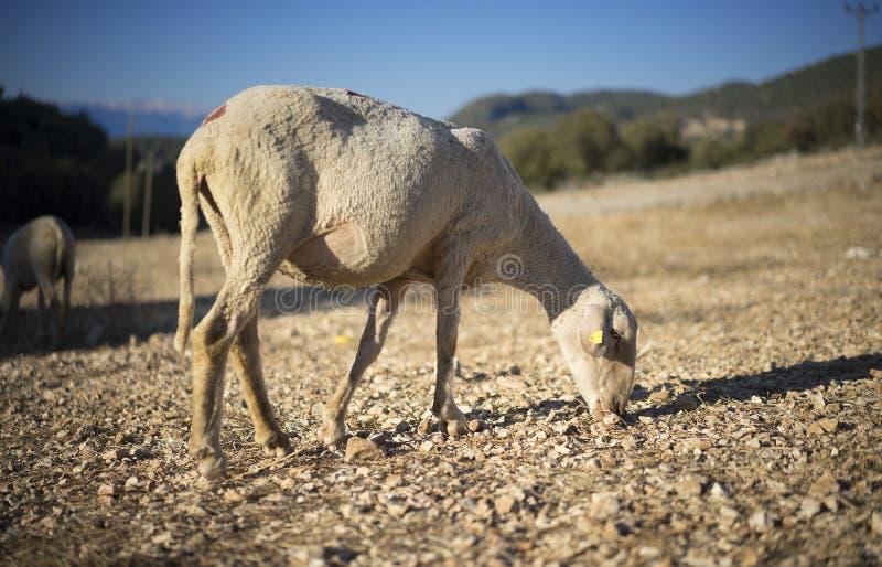 овцы стриженые стоковое изображение rf
