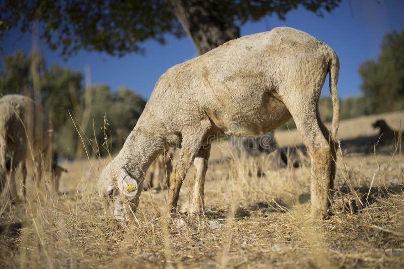 овцы стриженые стоковая фотография rf