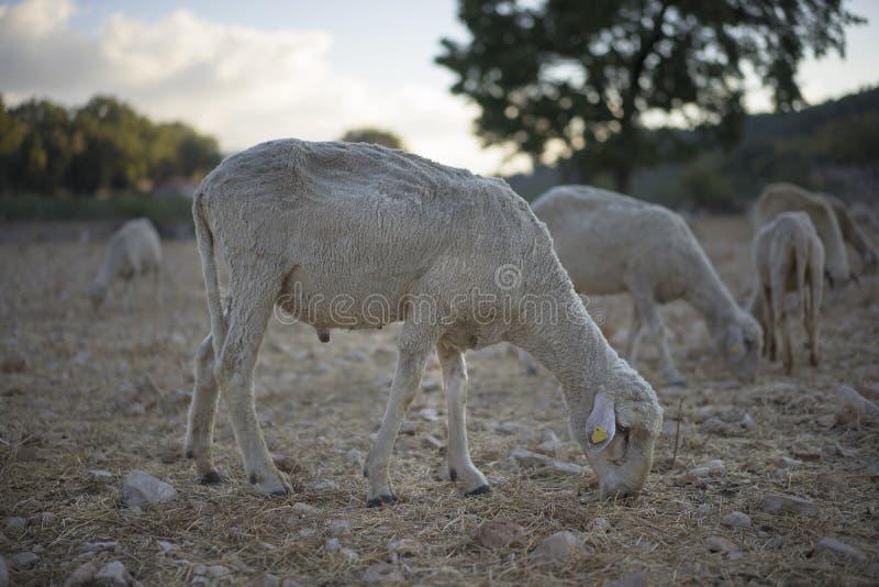 овцы стриженые стоковые изображения rf