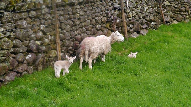 Овцы с ее овечками стеной стоковые фото
