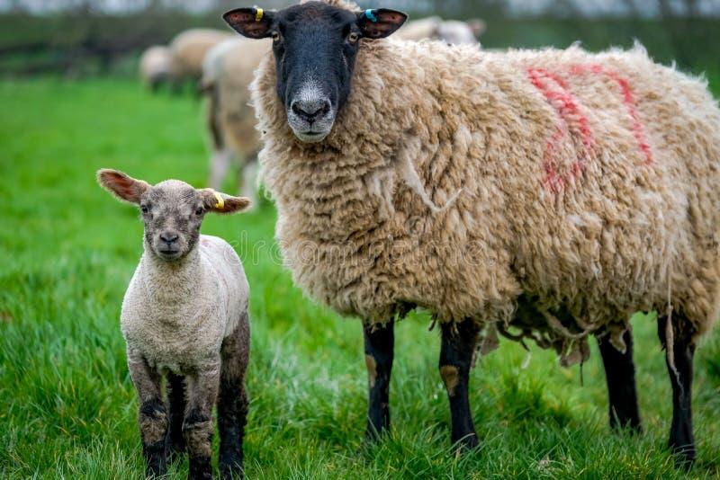 Овцы с молодой овечкой в поле стоковые изображения