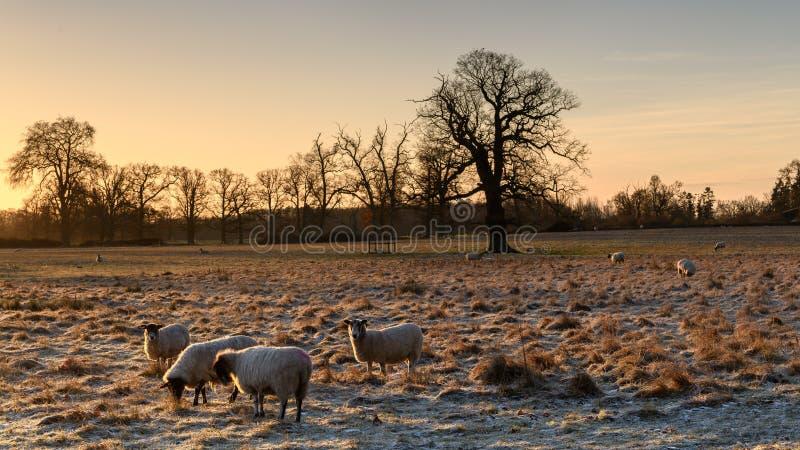 Овцы с морозной задней частью стоковые изображения rf