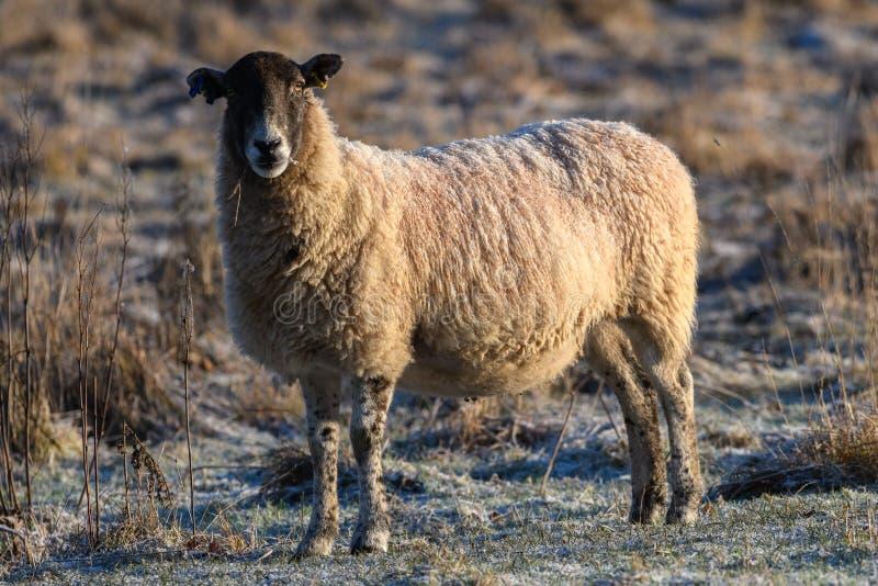 Овцы с морозной задней частью стоковая фотография