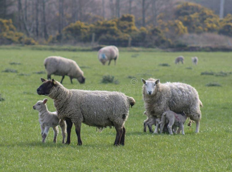 Овцы с овечками в поле стоковое фото