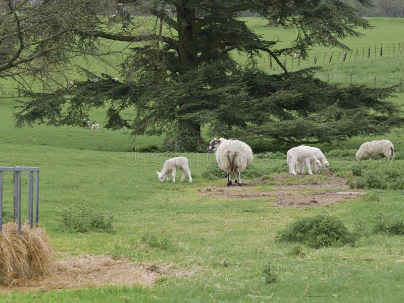 Овцы с овечками в Parkland около фидера сена стоковая фотография