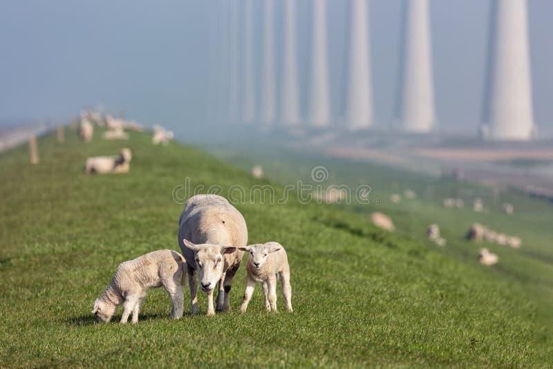 Овцы с овечками на dike около голландской фермы ветротурбины стоковое изображение