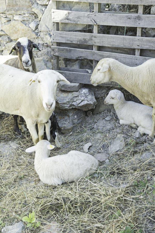 Овцы с овечкой Стоковое Изображение