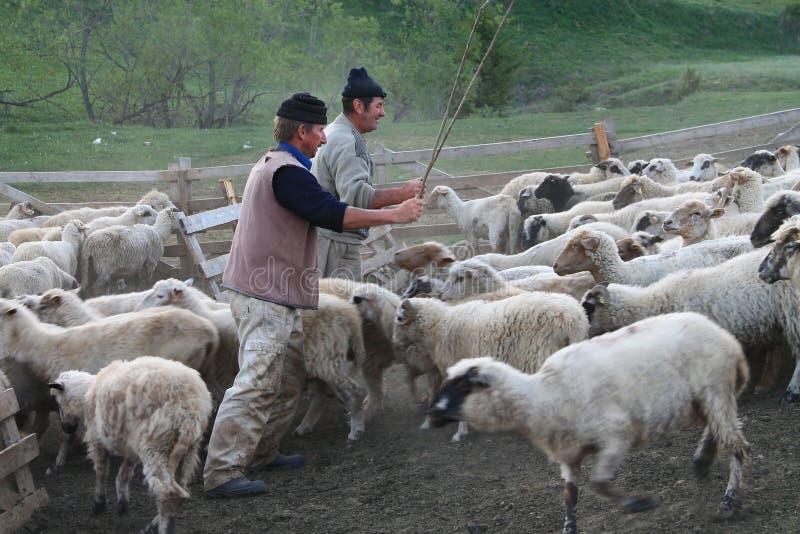 Овцы с чабанами стоковые изображения rf