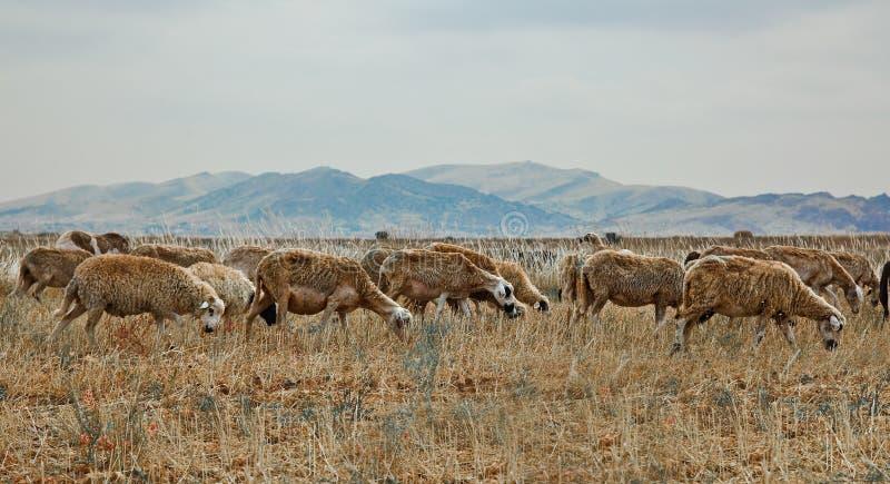 овцы табуна стоковые изображения rf