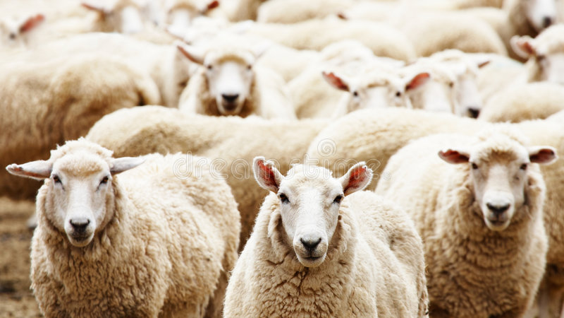 овцы табуна стоковое фото rf