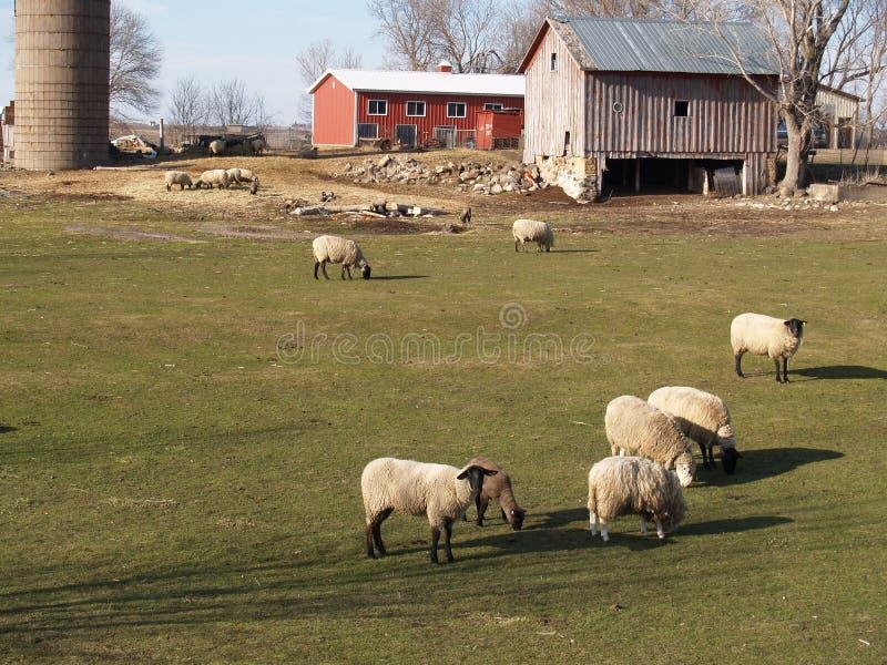 овцы фермы стоковая фотография rf