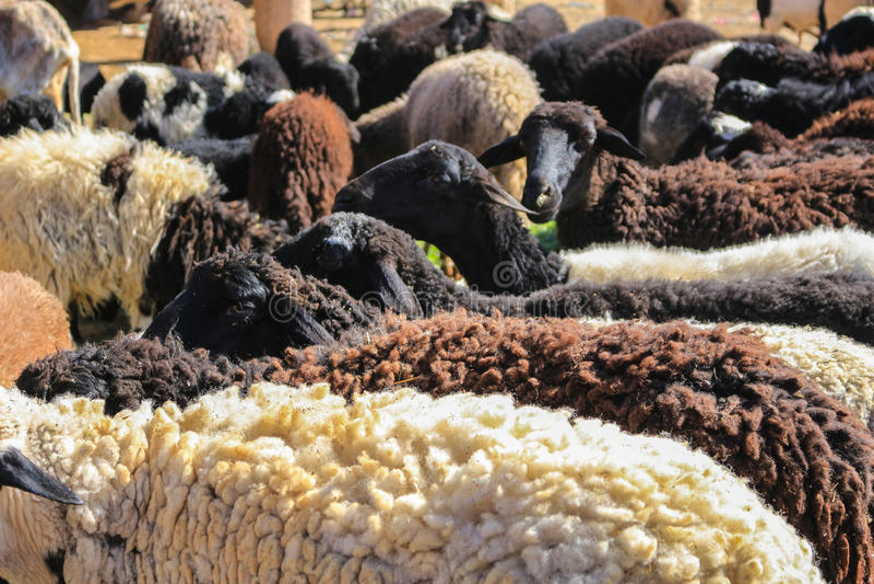 Овцы шерстей для продажи стоковые фото